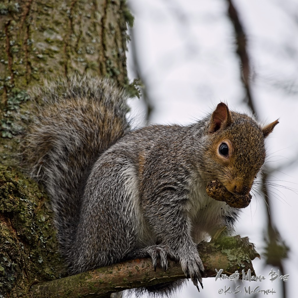 A grey squirrel looking down at me from my neighbor's fir tree.