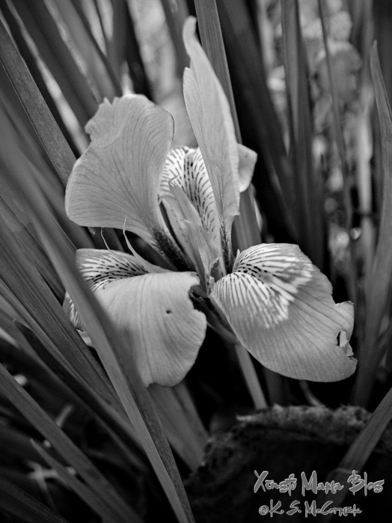Black and white treatment of a Siberian Iris.