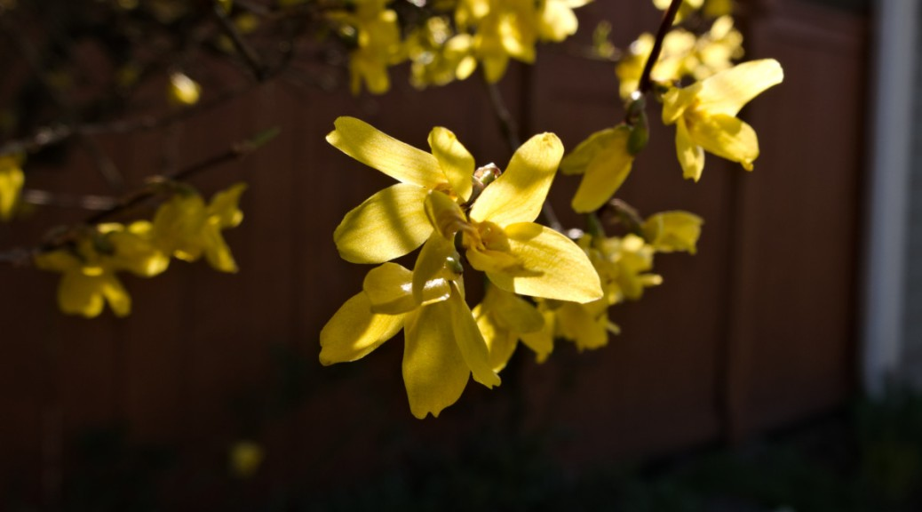 Forsythia lit by the sun on a spring morning.