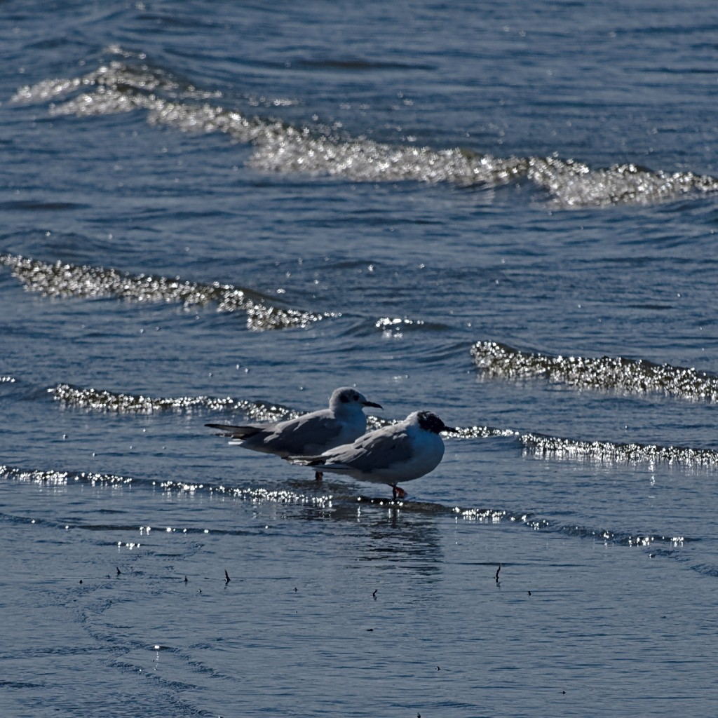 Two arctic terns in wavelets sparkling in the spring sunlight.