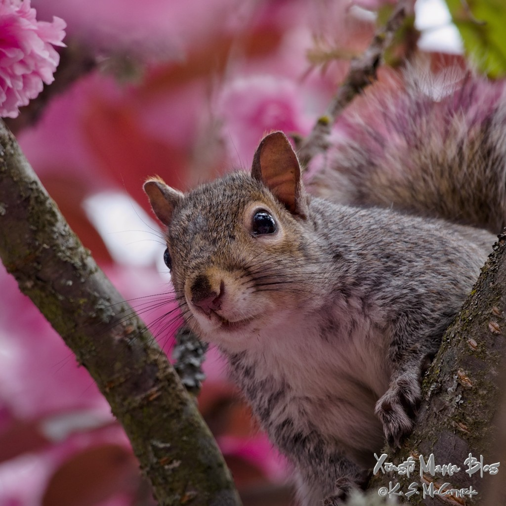 Squirrel peeking down from among the cherry blossoms.