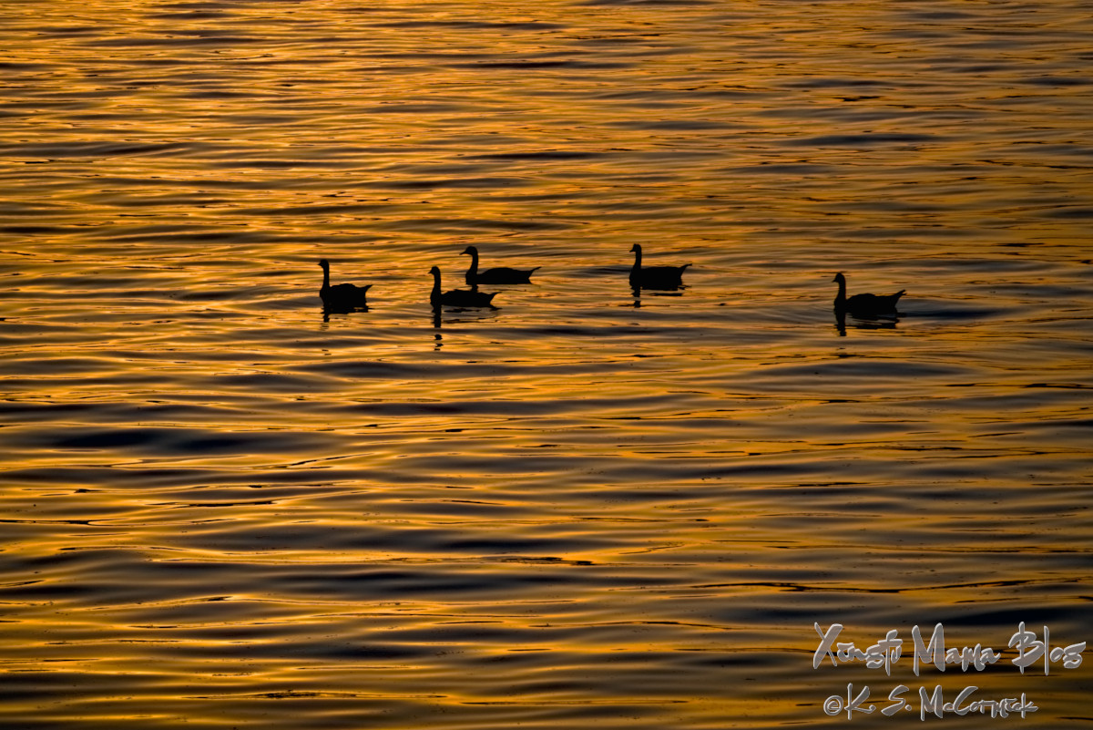 Silhouetted of geese on waves refelcting the gold of the setting sun.