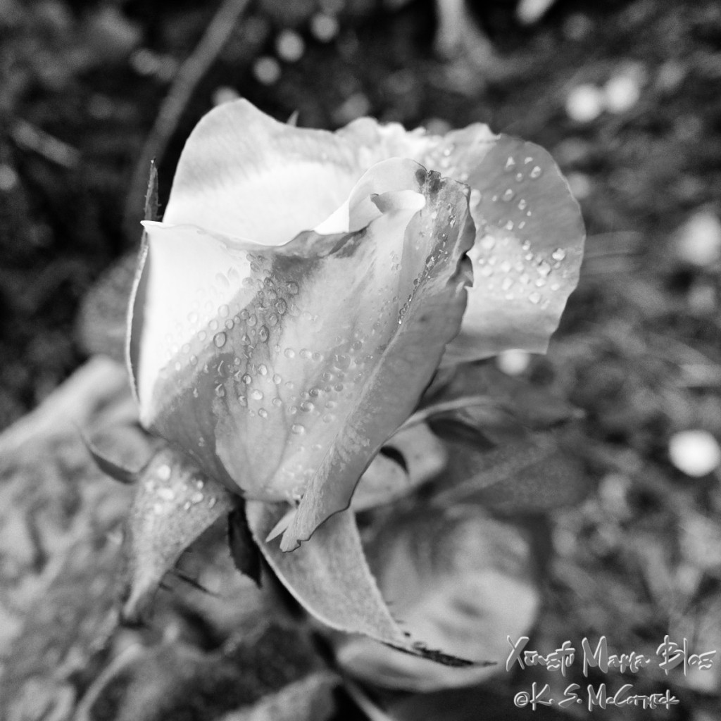 Bud of the heirloom rose, love and peace, turned to black and white using the GIMP.