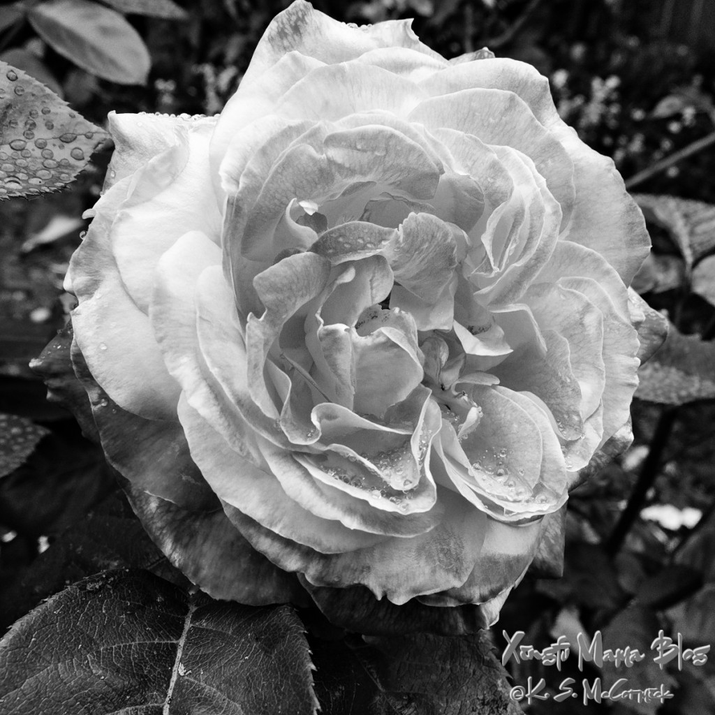 The love and peace rose in full bloom. The black and white treatment is in the GIMP.