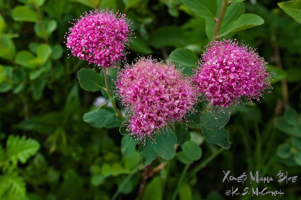 Three head of rosy spirea look like exotic purple-pink pom poms.